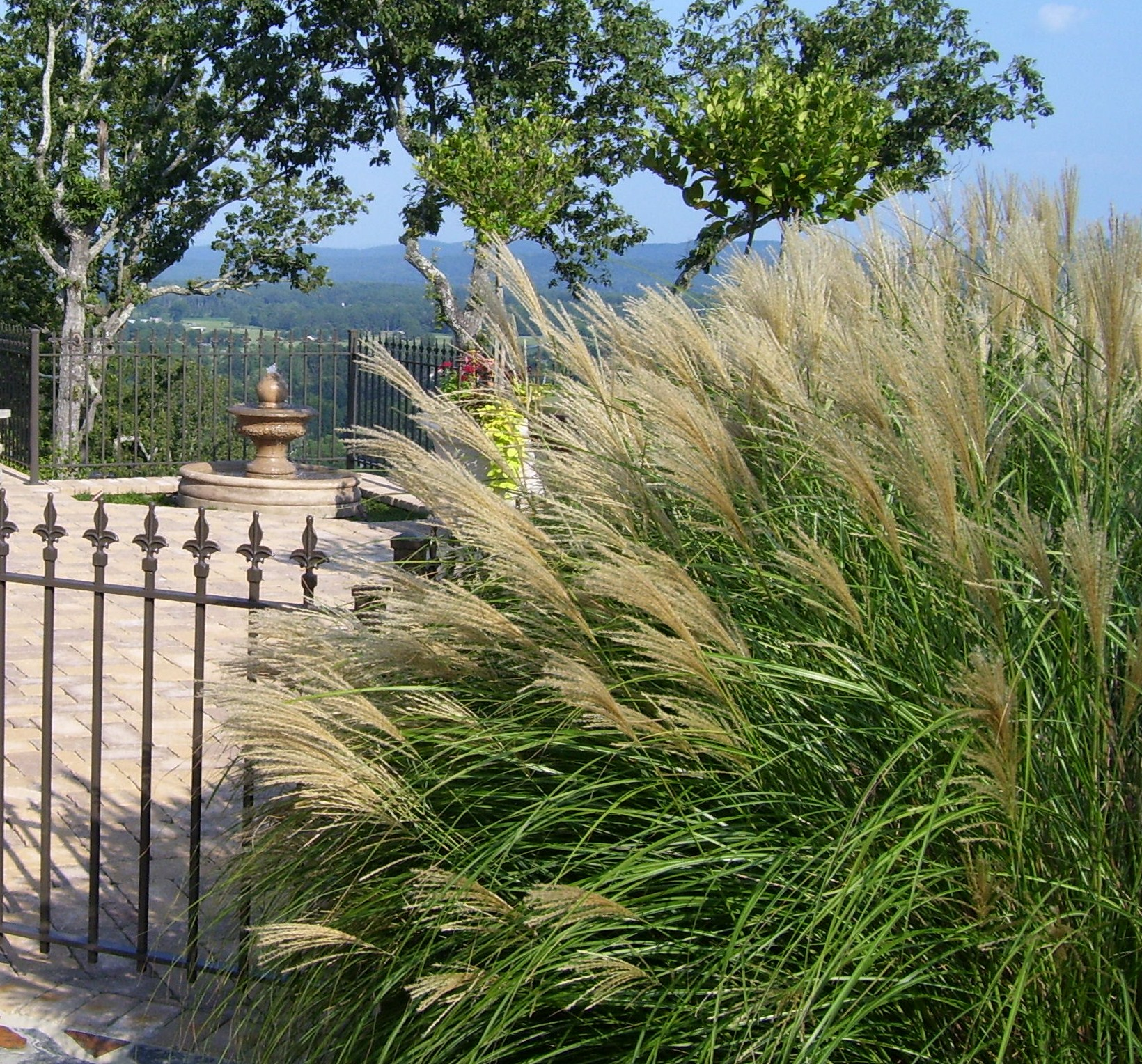 Plant notes maiden grass morning light a soft touch for Landscape design using ornamental grasses